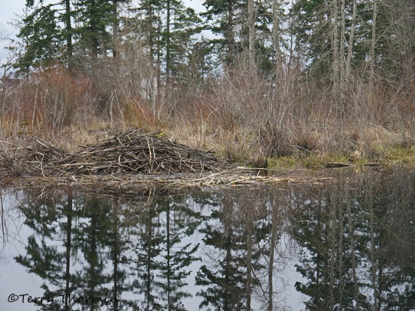 Beaver lodge at LRP 1b
