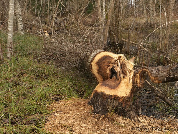 Cottonwood cut down by beaver 2b