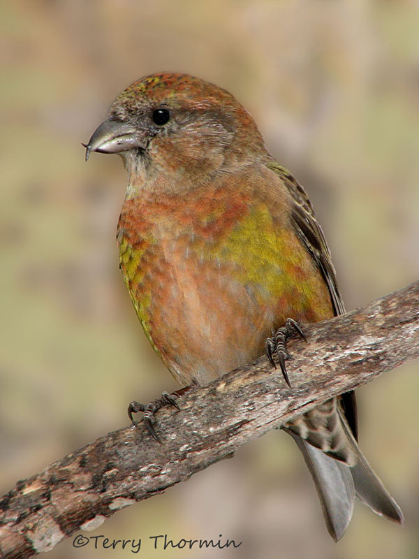 Red Crossbill 8d