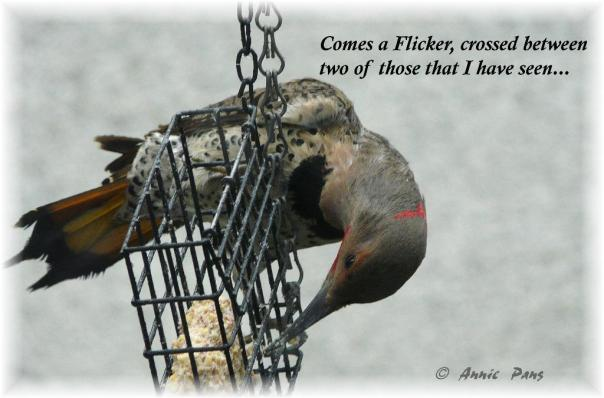 Northern Hybrid Flicker 1st pic and poetograph